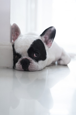 defecate: French bulldog lay on floor and looking Stock Photo