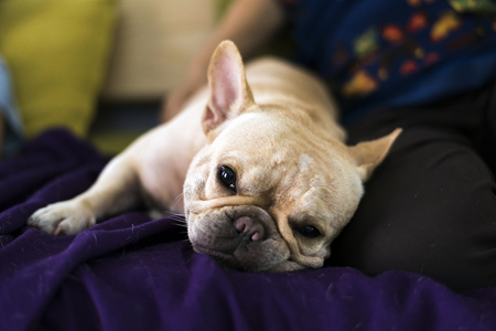 defecate: French bulldog lay on bed and looking