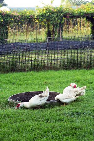 farm ducks: Ducks life in farm,ducks on grass field Stock Photo