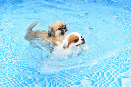Couple cute Dog swimming together in training pool