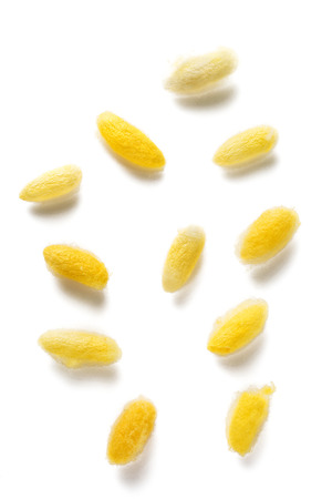 Beautiful yellow color Cocoons on background