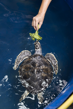 Hand feeding injured sea turtle in pool Banque d'images