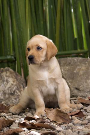 Labrador puppy sitting and waiting