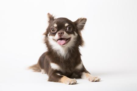 Chihuahua dog laying on white studio background
