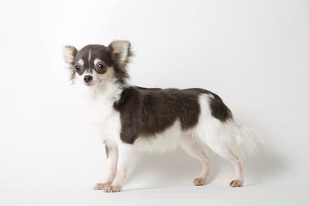 Chihuahua dog standing on white studio background