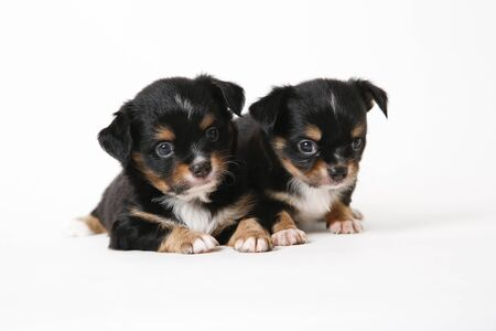 Chihuahua puppies laying on white studio background