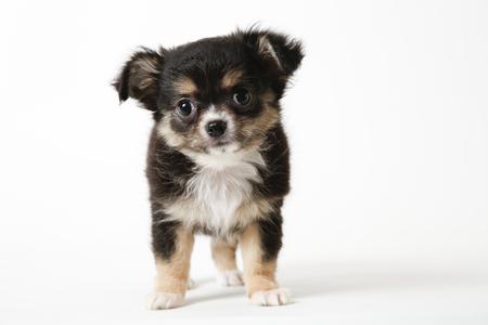 Chihuahua puppy standing on white studio background Фото со стока
