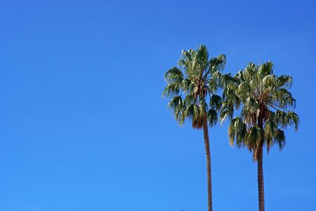 Sugar palm trees with clear blue sky background - summer season