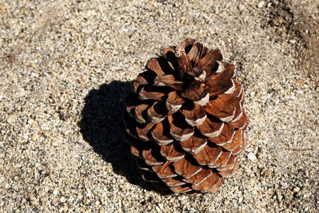 Single Pine cone drop on the Sand stone ground in yosemite national park - united states of america - with copy space - brown nature concept
