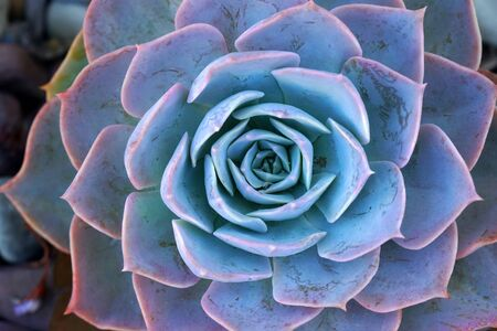 Macro Blue fresh Succulent echeveria plant - Texture background - Blue nature concept , Floral backdrop and beautiful detail