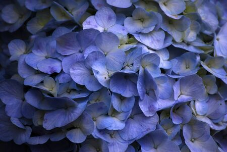 Macro Blooming blue color Hydrangea Flower with raindrops texture background at bana hill danang vietnam 写真素材