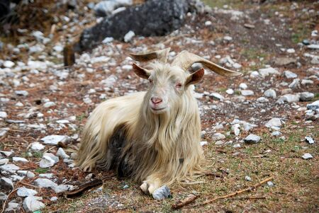 Beautiful white tibet goats is sitting at foot of the hill of Yading national park , Daocheng , China - tibetan animal and wildlife travel trekking in china concept