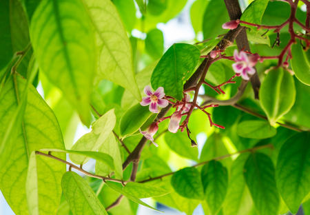 Star apple and flowers on the tree Stock Photo