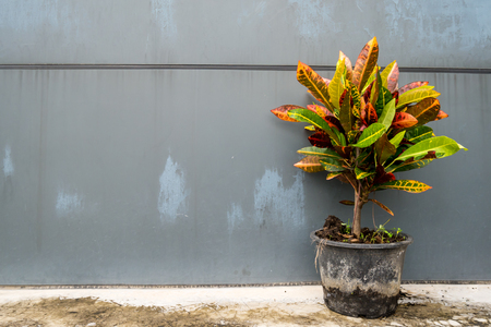 Ornamental tree in a black pot with gray walls. Stock Photo