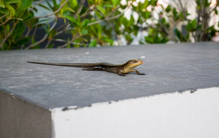 Skink on the Wall