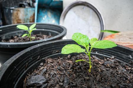 Seedlings in black pots Stock Photo