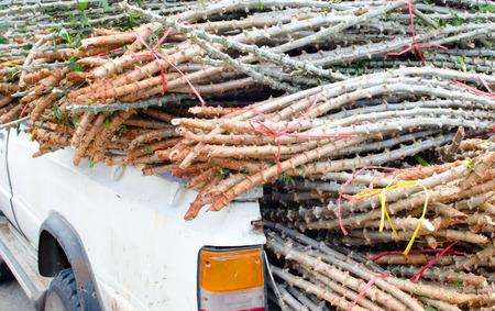cassava tree on car