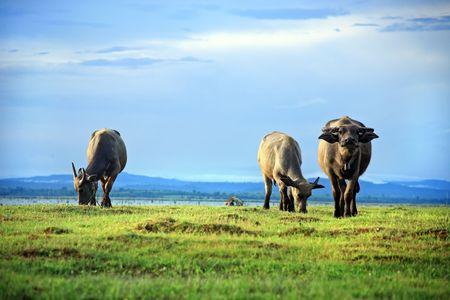 rnanimal: buffalo