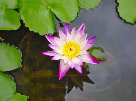 Purple lotus petals, yellow stamens in the Purple lotus petals, yellow stamens in the lotus pond during the day. lotus pond during the day.
