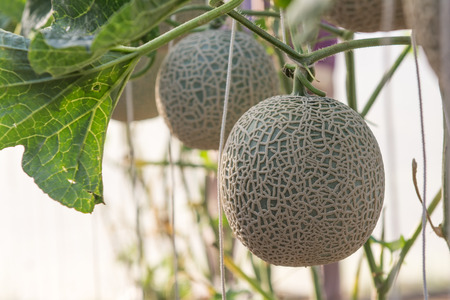 melon field: Melon grown in greenhouses Stock Photo