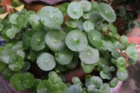 Green Centella asiatica and water on leaf