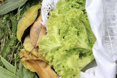 green Lactuca sativa in white bag