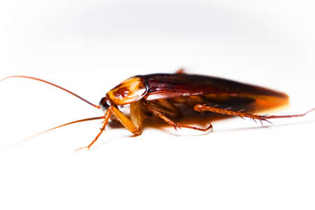 Blattodea slept dead and white background