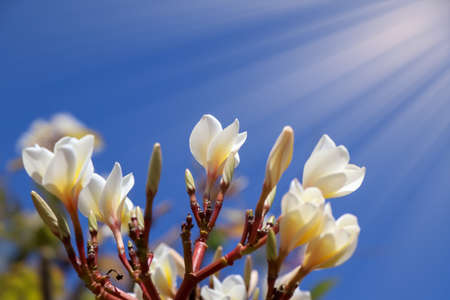 white Plumeria flower are blooming and day