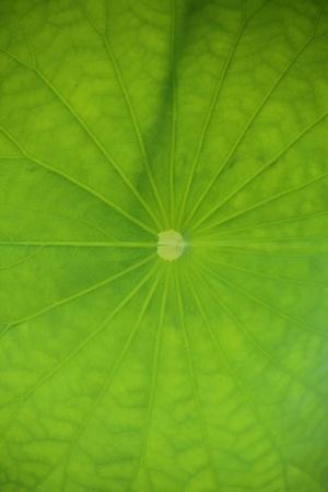 Lotus leaf photo