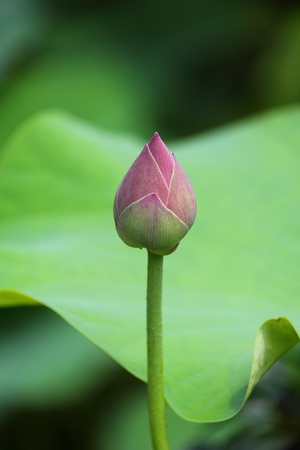 pink lily: Pink Lotus