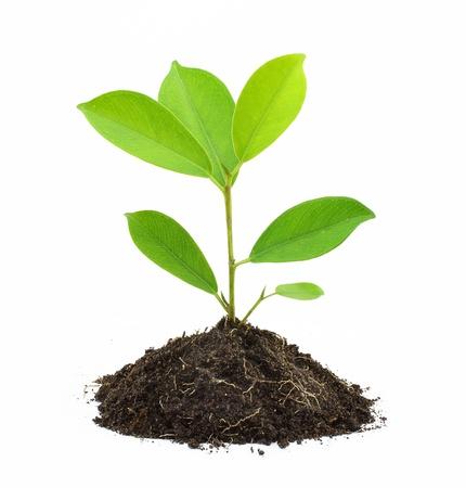 Joven planta en verde y suelo aislado sobre fondo blanco. Foto de archivo