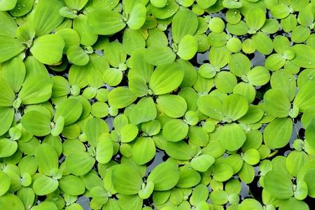 aquatic plant: Water lettuce or Pistia stratiotes