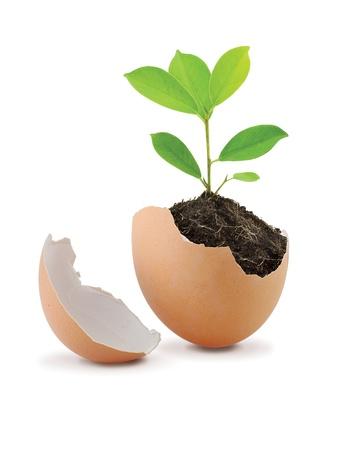 흰색 배경에 고립 된 달걀 껍질에있는 토양을 가진 젊은 녹색 식물