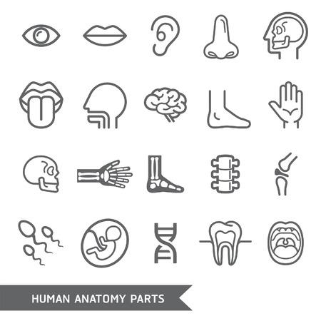 Partes del cuerpo humano anatomía detallada Iconos. Ilustración vectorial