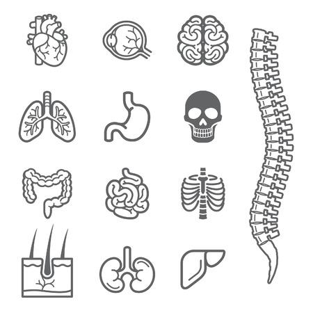 espina dorsal: Órganos internos humanos iconos completo conjunto. Ilustración vectorial