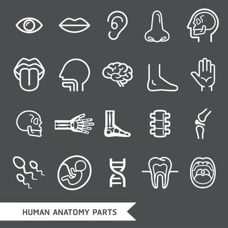 sex symbol: Human anatomy body parts detailed icons set. Vector illustration
