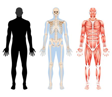 Human body skeleton and muscular system vector illustrations.