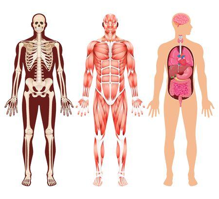 Human organ skeleton and muscular system vector illustrations. 矢量图像