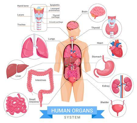 Human organ system vector illustrations.