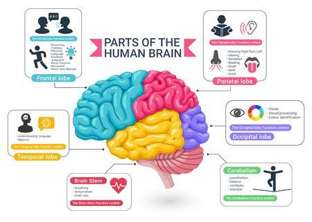 Áreas funcionales de las ilustraciones del diagrama del cerebro humano. Ilustración de vector