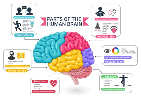 Functional areas of the human brain diagram illustrations.