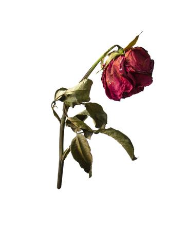 白い背景で隔離赤いバラの枯れ