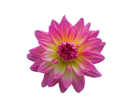 Dalia Pink flowers isolated on white background