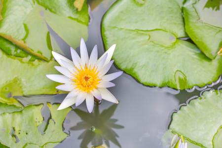 lotus flower background