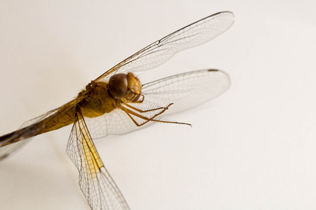 Close-up Dragonfly on white background. Stock Photo