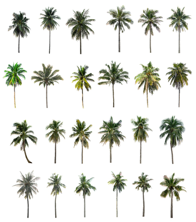 Twenty-four Palm coconut isolated on white background 版權商用圖片
