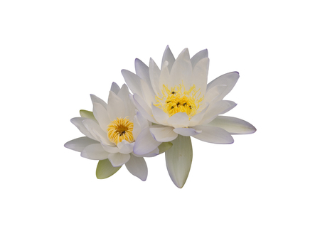 Yellow waterlily isolated on white background