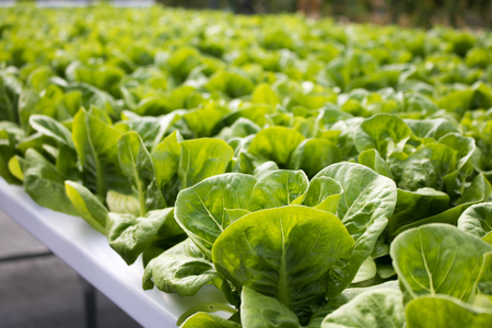 Green lettuce vegetables hydroponic  with copy space ,Hydroponic vegetables