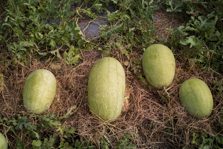 Close-up Cantaloupe melons growing in a greenhouse country farm,Cucumis melo