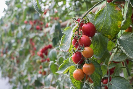 Organic tomatoes in garden ready to harvest  with copy space Stock Photo